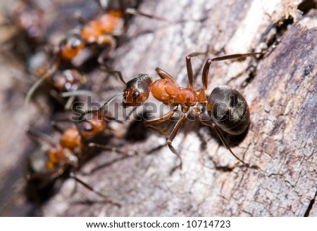 Extreme close-up of a colony of red ants - stock photo