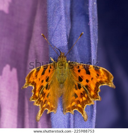 Extreme close up of a Comma butterfly (Polygonia c-album) basking on purple laundry on a sunny day in England - stock photo