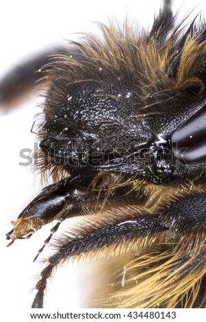 Extreme close up of a honeybee (Apis mellifera) head, photographed from the front and side to show the mouthparts in high detail. - stock photo