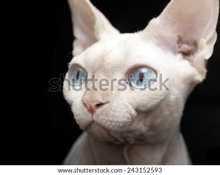 Extreme close up of a Sphinx Cat - stock photo