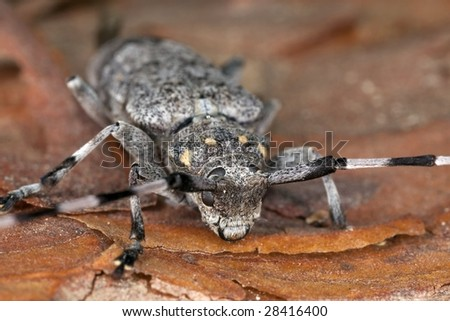 Extreme close-up of a timberman (Acanthocinus aedilis) - stock photo