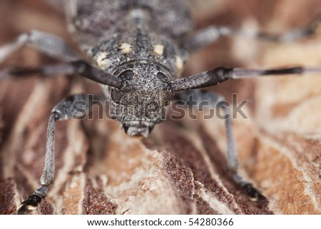 Extreme close-up of a timberman (Acanthosinus aedilis) - stock photo