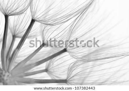 Extreme close-up of dandelion. Black&white, shallow DOF. - stock photo