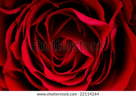 Extreme close-up of dark red rose with shallow dof - stock photo