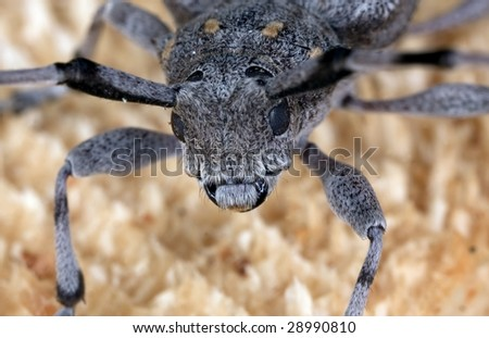 Extreme close-up of the face of a timberman (Acanthocinus aedilis) - stock photo