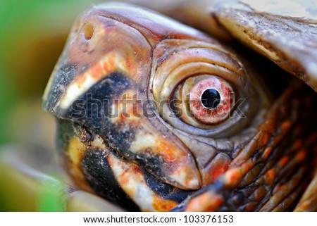 Extreme close up of Three-toed box turtle face and eyes (Terrapene carolina triunguis) - stock photo