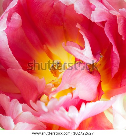 Extreme closeup of a tulip interior -- Pink and yellow French parrot variety with selective focus on the stamen. Top view. - stock photo