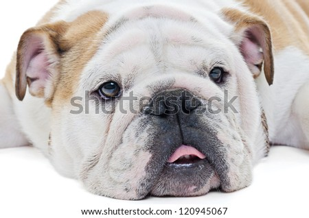 Extreme closeup of english bulldog dog head over white - stock photo