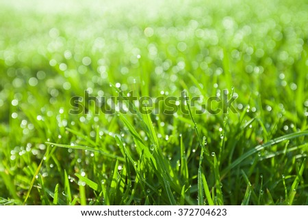 Extreme closeup of green wet grass with dew drops bathing in morning sunlight. Shallow depth of field. - stock photo