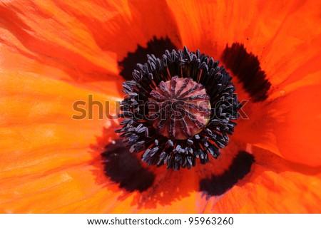 Extreme closeup of oriental poppy. - stock photo