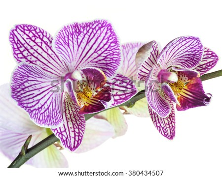 Extreme Depth of Field Close Up of Orchids Isolated on White - stock photo