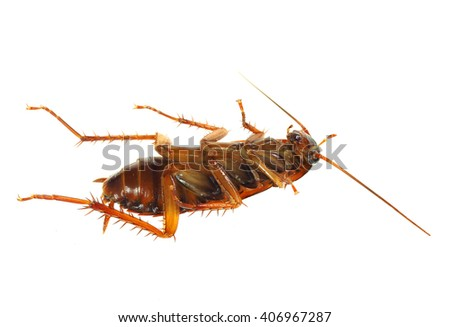 Extreme Depth of Field Photo of a Dead Cock Roach Isolated on White   - stock photo