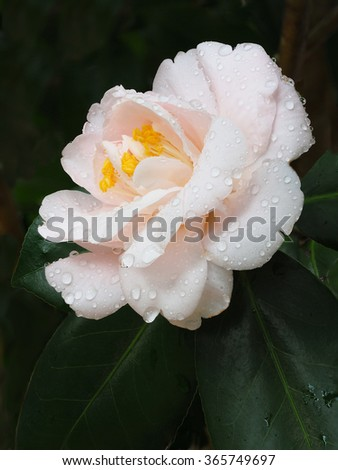 Extreme Depth of Field Photo of a White Camellia With Water Droplets          - stock photo