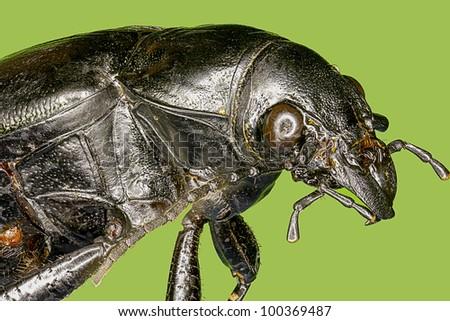 Extreme macro hardwood stump beetle insect (Mallodon dasytomus) - stock photo