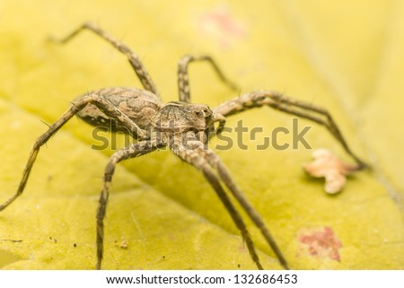 Extreme Macro Photo Of A Nursery Web Spider - stock photo