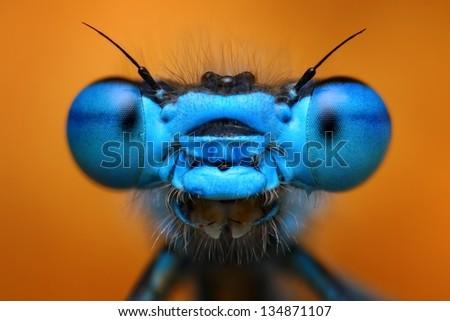 Extreme macro view of blue damselfly (Enallagma cyathigerum) - stock photo