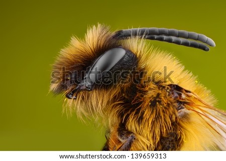 Extreme sharp and detailed study of Bee taken with microscope objective stacked from many shots into one photo - stock photo