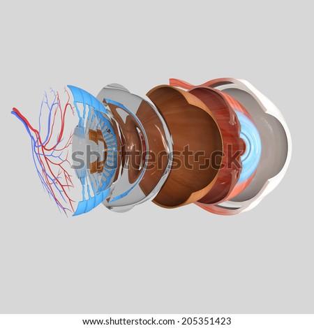 Eye anatomy - stock photo