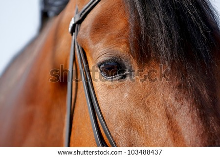 Eye of a horse in a bridle close up - stock photo