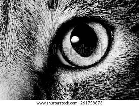 Eye of a Norwegian Forest Cat  - stock photo