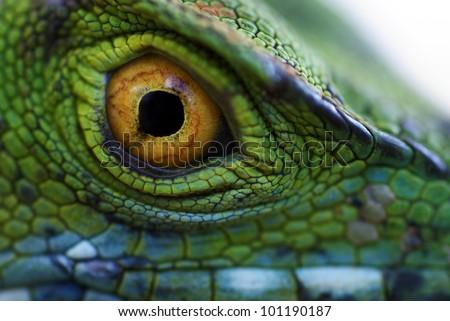 Eye of green basilisk (Basiliscus plumifrons) - stock photo