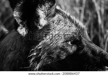 Eye of the Painted Dog - stock photo