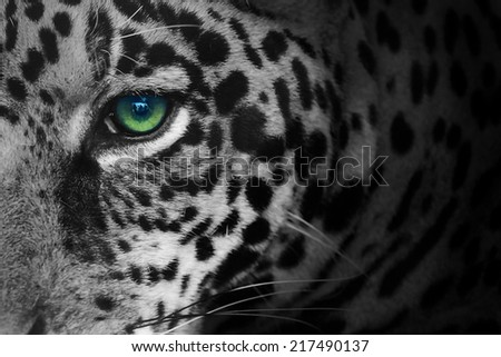 eye of the tiger - stock photo