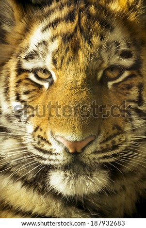 Eye to eye close up portrait of Amur Tiger Cub outdoors in natural lighting. Very detailed close up. - stock photo