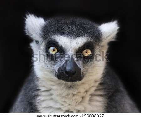 Eye to eye contact with a ring-tailed lemur, Madagascar cat, isolated on black background. One of the most expressive primate of the wild Madagascar jungle. Excellent animal with human like face. - stock photo