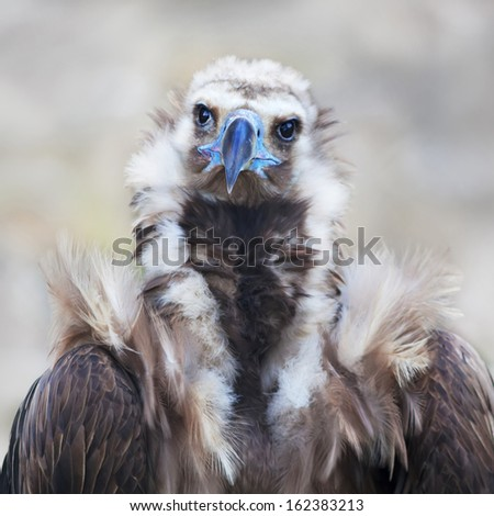 Eye to eye portrait of The Cinereous Vulture (Aegypius monachus) is also known as the Black Vulture, Monk Vulture, or Eurasian Black Vulture. The largest true bird of prey in the world. - stock photo