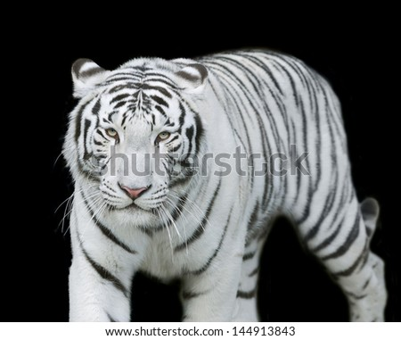 eye to eye with white bengal tiger, isolated on black background. - stock photo