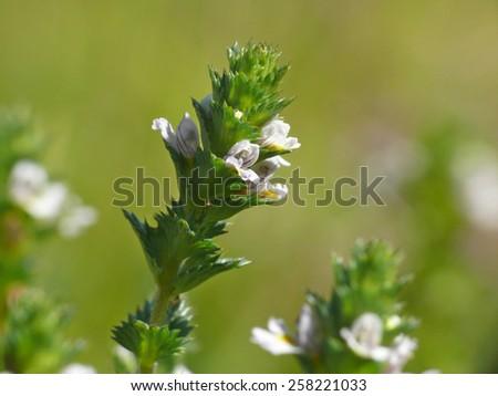 Eyebright (Euphrasia officinalis) - stock photo