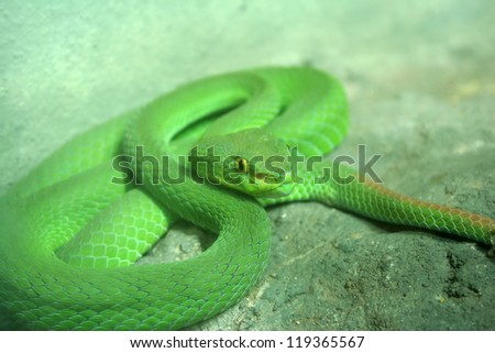 Eyed green pit viper snakes that are toxic litter is found in the forests. - stock photo