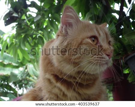Eyes golden cat hunter - stock photo