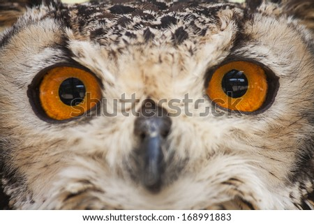 Eyes of an owl closeup - stock photo
