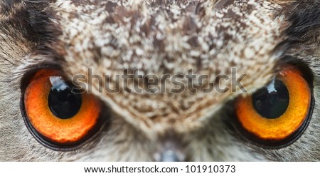 eyes of owl eagle very close up with small depth of field - stock photo