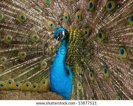 Fabulous peacock train - stock photo