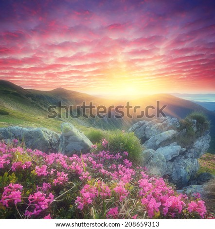 Fabulous sunrise in the mountains. Beautiful summer landscape with flowers of rhododendron. Meadow with red flowers. Soft effect. Color toning - stock photo