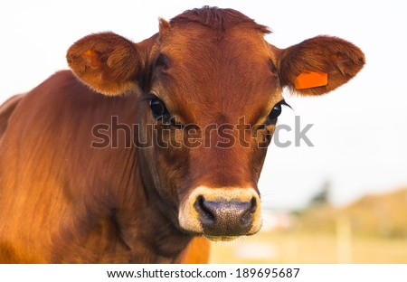 face close up red cow. license plate sticker in your ear. - stock photo