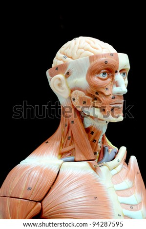 face human muscle - stock photo
