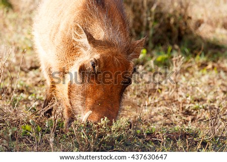 Face in the ground - Phacochoerus africanus - The common warthog is a wild member of the pig family found in grassland, savanna, and woodland in sub-Saharan Africa. - stock photo