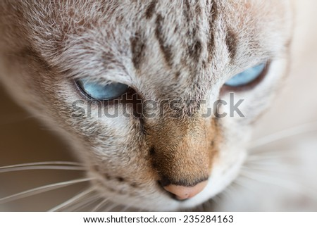 face of a cute Thai cat - stock photo