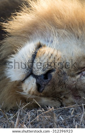 Face of a male lion resting under a tree in Sabi Sands, South Africa - stock photo