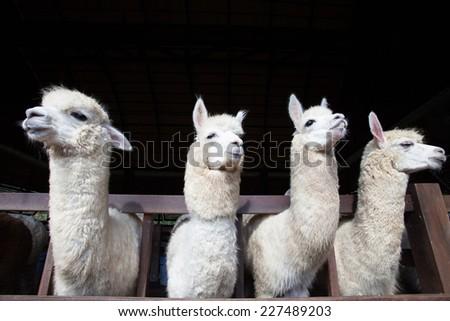 face of four funny alpacas llama in farm  - stock photo