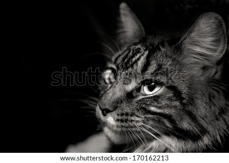 Face of Gray Cat - stock photo