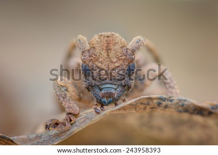 Face of Long-horned Beetle Cerambycidae. The beetle are easily found in Malaysia forest. Image has grain or noise and soft focus when view at full resolution. (Shallow DOF, slight motion blur ) - stock photo