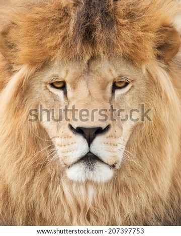 Face of majestic lion - stock photo