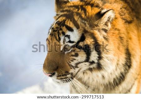 face of siberian tiger at harbin,china - stock photo