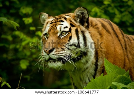 Face of tiger with high concentration, trees background - stock photo