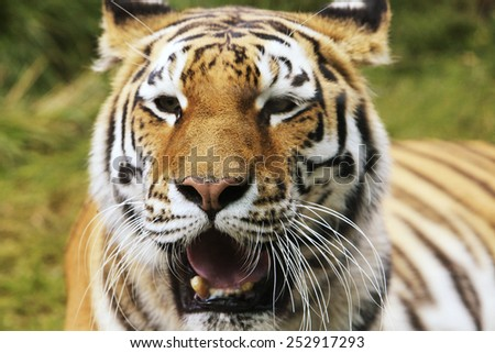Face of tiger with high concentration, trees background. - stock photo